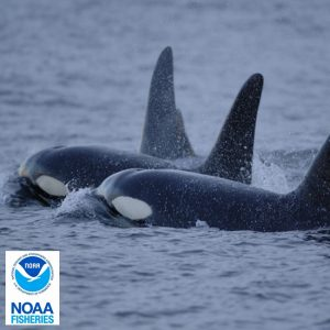 noaa-fisheries-orca-whale-education-windermere-real-estate-orcas-island-wally-gudgell-group-san-juan-island